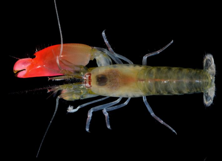 This photograph received from the Federal University of Goias on April 12, 2017, shows the newly-discovered bright pink-clawed pistol shrimp which has been named as 'Synalpheus pinkfloydi' in the scientific description of the species. A shrimp with a large pink claw capable of making a deafening sound was dubbed Pink Floyd, in recognition of the discoverer's favourite rock band, the Museum of Natural History of Oxford University said April 12, 2017.  / AFP PHOTO / Federal University of Goias / Arthur Anker / RESTRICTED TO EDITORIAL USE - MANDATORY CREDIT